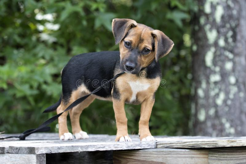 Cute Beagle mix puppy dog pet adoption photo royalty free stock photography