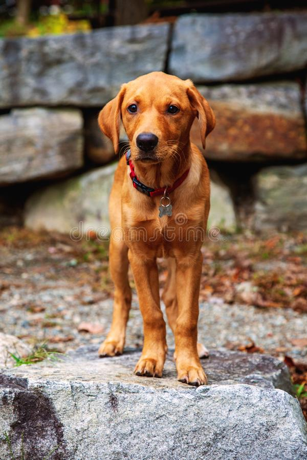 Red Labrador puppy standing on rocks. Three month old Red Labrador puppy standing outside on gray rock wall stock images