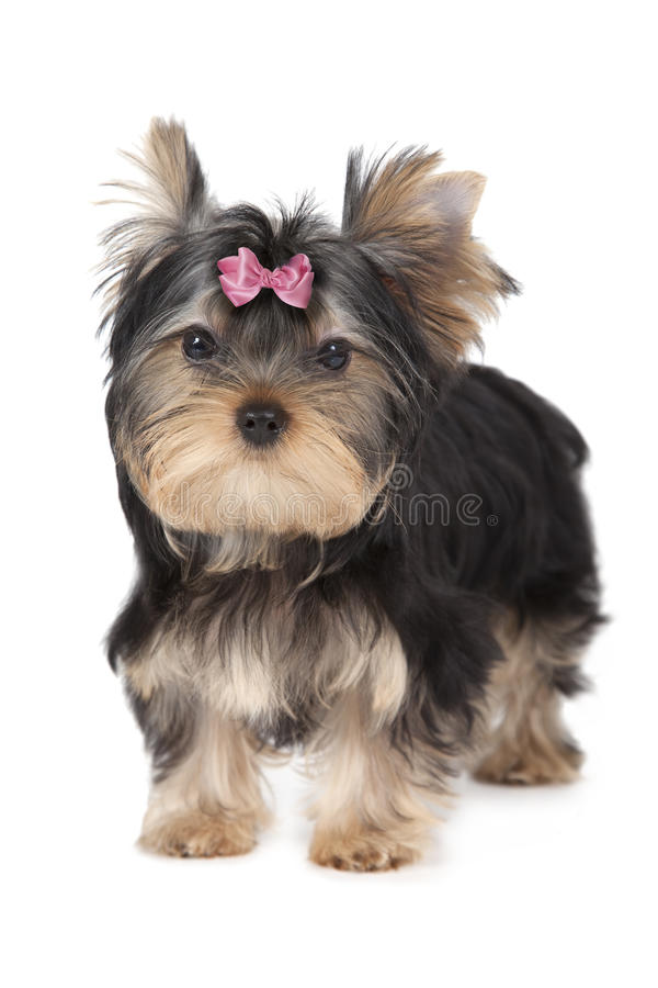 Three months old Yorkshire terrier isolated on white. Background stock photography