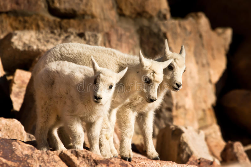 Three Mountain Goat Kids. Three Very Young Mountain Goat Kids Standing Closely Together on Rock Ledge royalty free stock photos