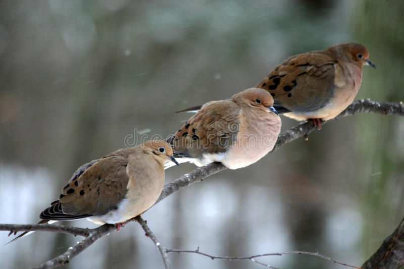 Download Three Mourning Doves stock photo. Image of snowing, tree - 12345470