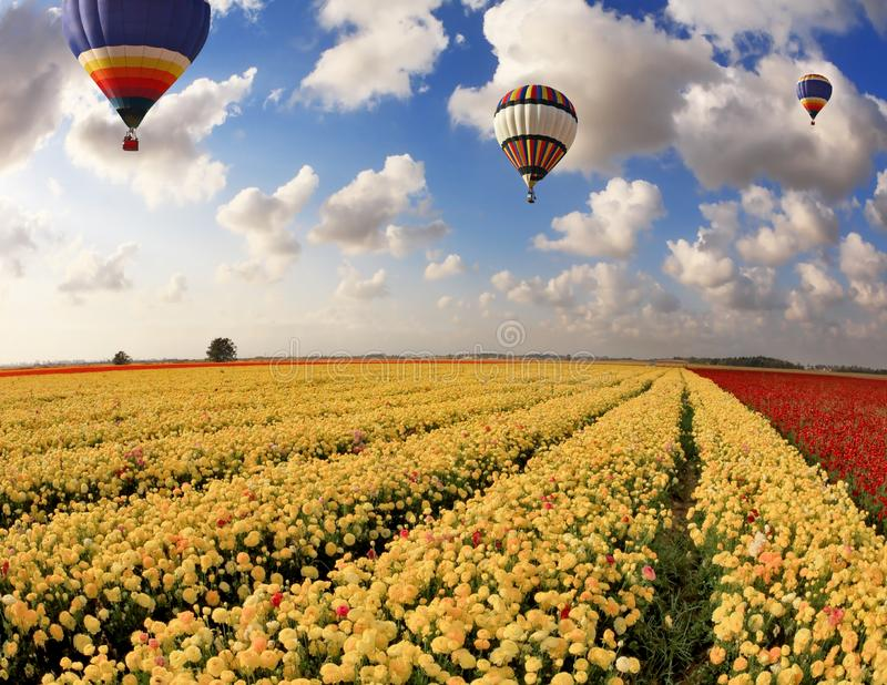 Three multi-color balloons flies. Boundless fields with blossoming pink, red and yellow buttercups. Over fields the huge multi-color balloons flies. Spring in stock images