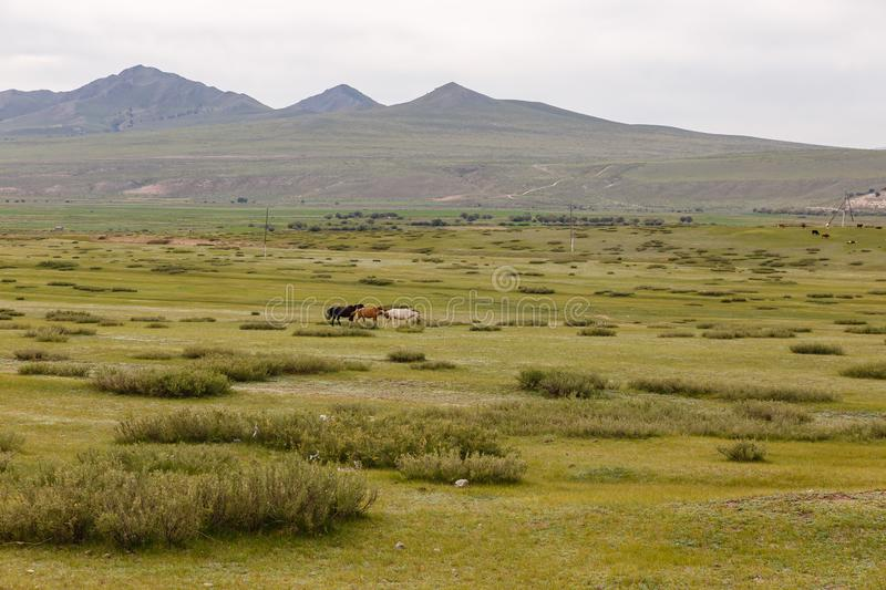 Three multicolored horses run across the steppe stock photography
