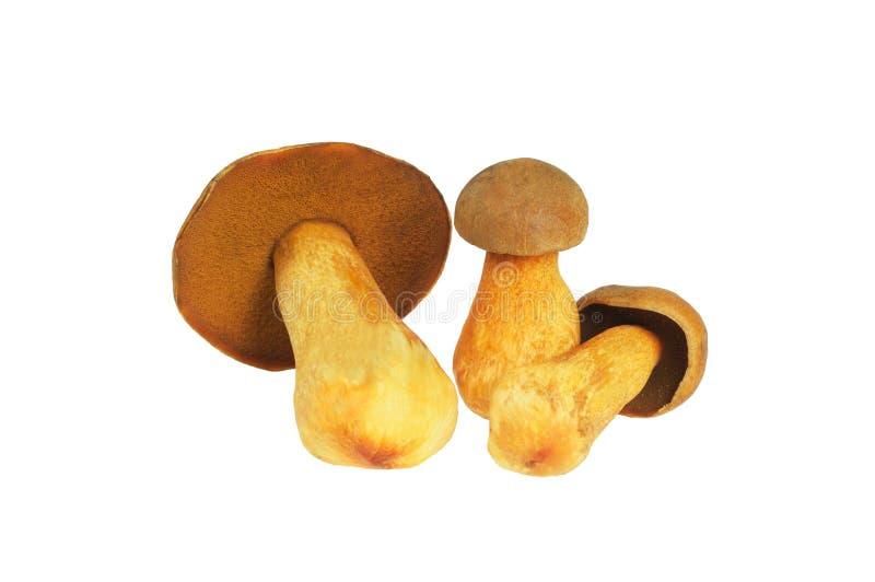 Three Mushrooms. Russula