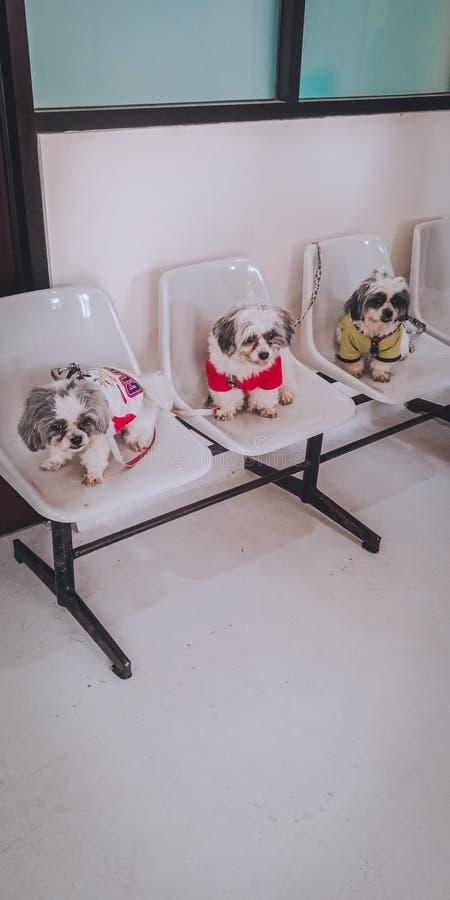 Three musketeers shih tzu dog on chair stock photo