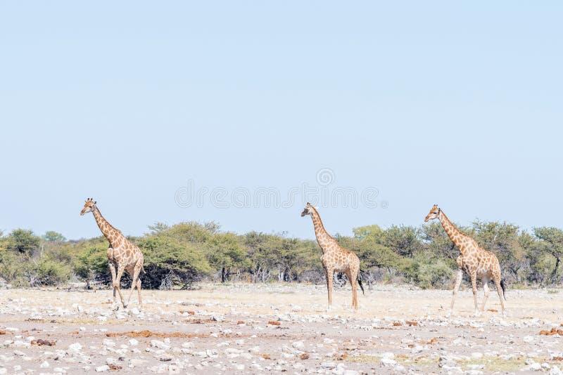 Three Namibian giraffes, Giraffa camelopardalis angolensis, walk royalty free stock image