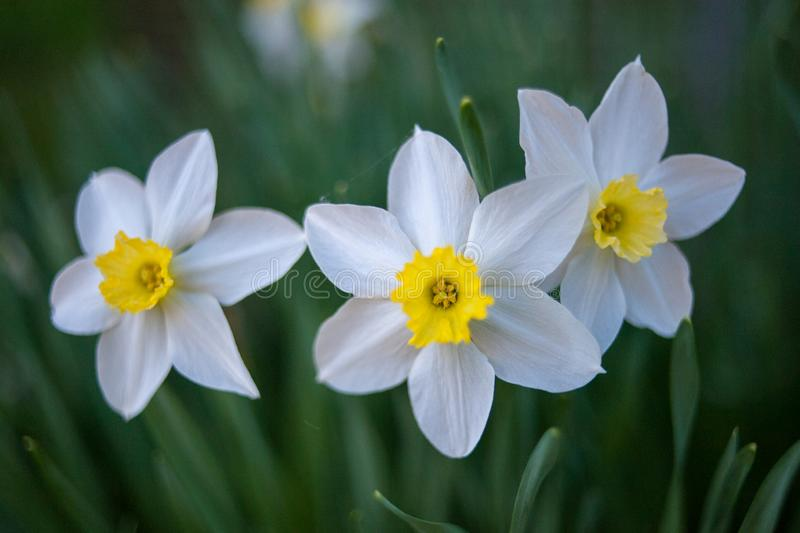 Three of narcissus on green background royalty free stock photography