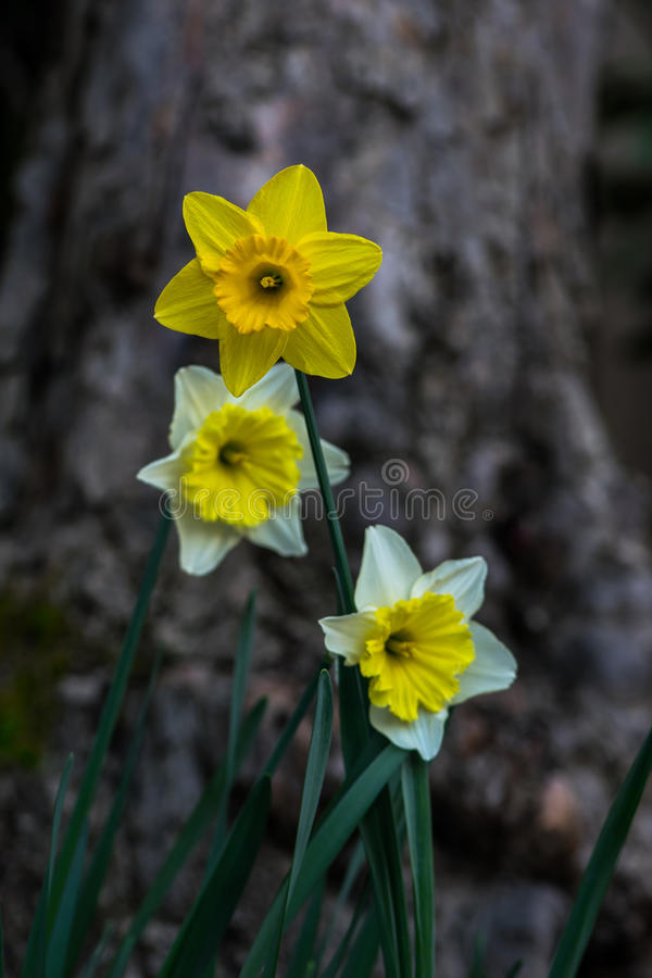 Three Narcissus. Trio of yellow and white Daffodil flowers stock photography