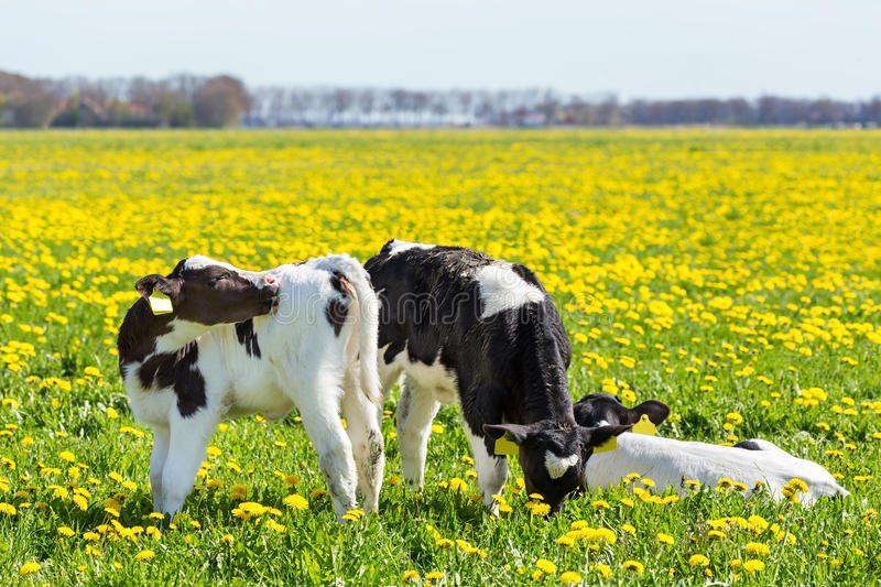 Three newborn calfs in spring meadow with dandelions. Three newborn calves in spring meadow with blooming yellow dandelions stock images