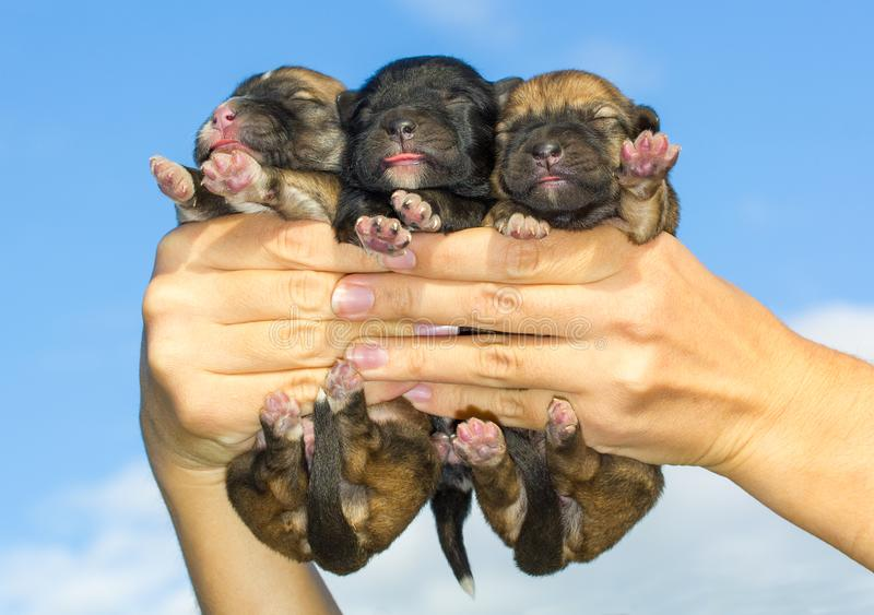 Three newborn puppies in hands. On sky background royalty free stock photo