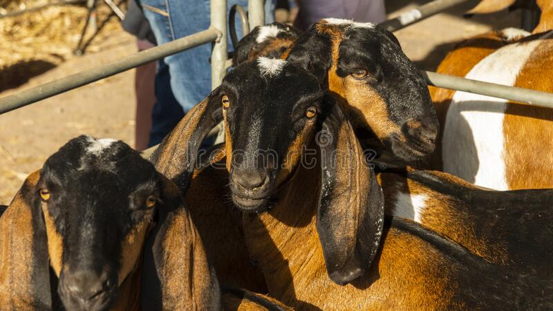 Nubian Goats at a Country show in Australia royalty free stock image