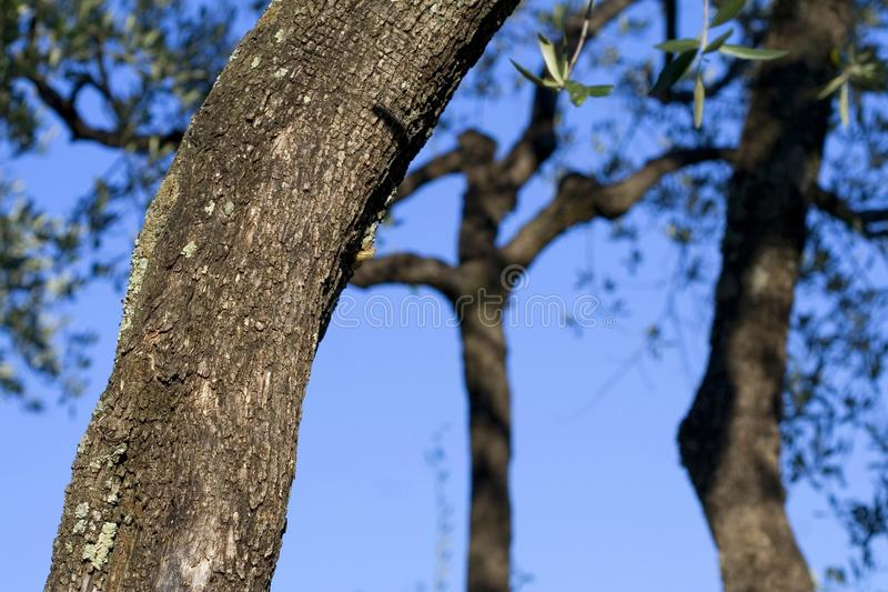 Three olives trees stock images