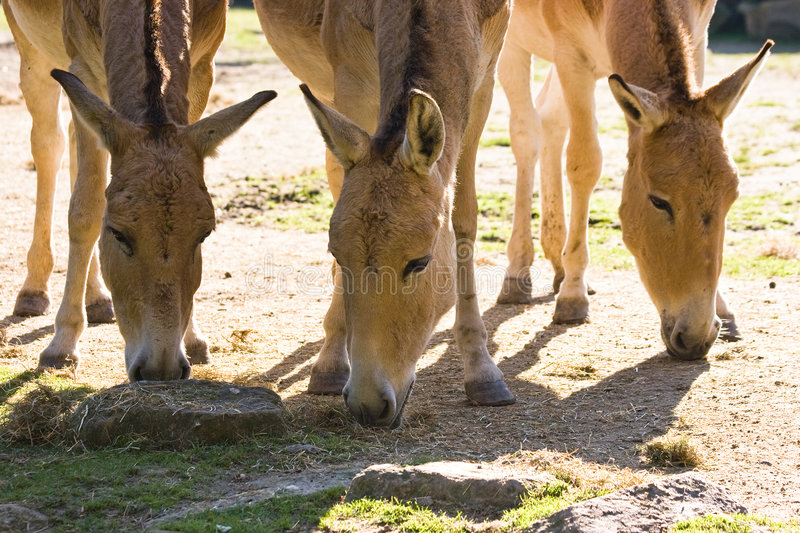 Three onagers. A group of three onagers in the sun stock image