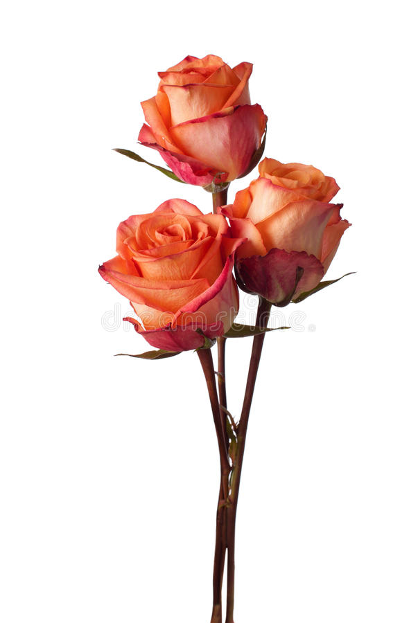 Three orange roses stock photo
