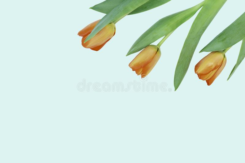 Three orange tulip flowers. From the upper right edge on a gently mint background stock photos