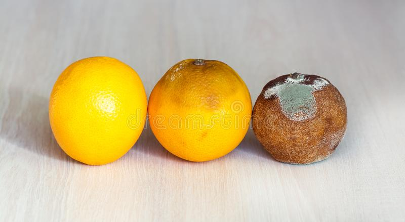 Three mandarins in the drying out stage. A fresh orange, an orange that begins to deteriorate, and spoiled rotten with mold royalty free stock images