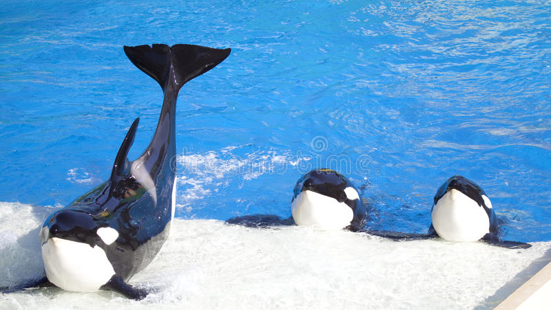 Three Orca Killer Whales Perform stock photo