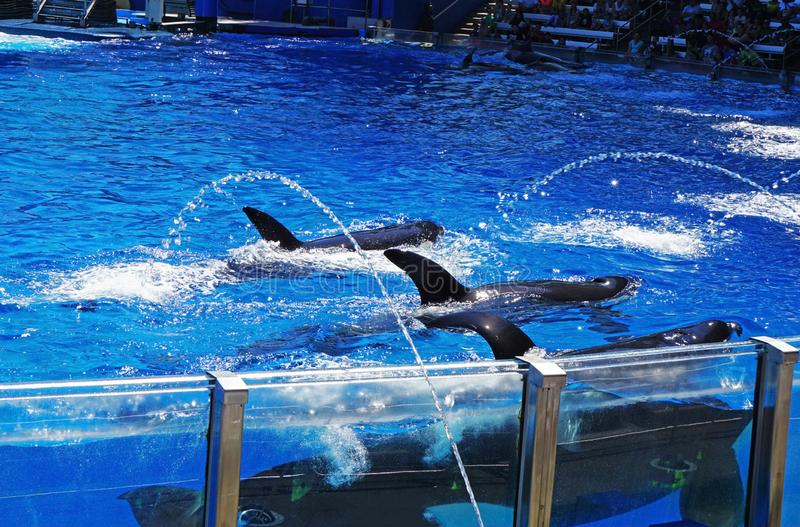 Three Orcas swimming about in their tank royalty free stock image