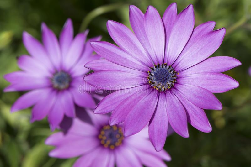 Three Osteospermum Ecklonis - Pink / Purple Colour. Three Osteospermum Ecklonis flowers in a purplish pink colour and its signature blue centre. Growing in it`s stock photography
