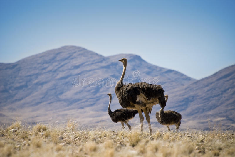Download Three ostriches stock image. Image of herd, powerful - 15777395