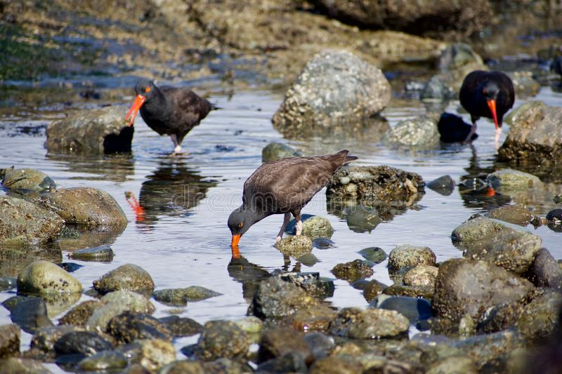 Three oystercatchers probe for limpets in a tide pool on southern Vancouver Island. British Columbia, Their red beaks glowing stock image