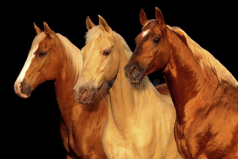 Three Palamino horses stock photography