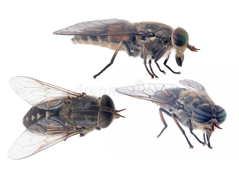 Three pale giant horse-flies isolated on white background royalty free stock photo
