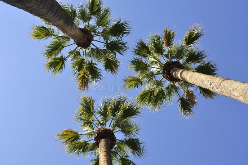 Three palm trees royalty free stock photos