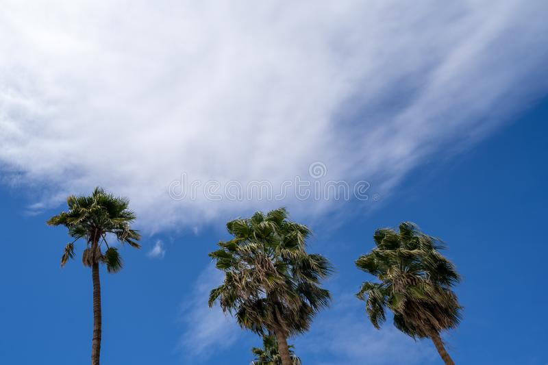 Three palm trees blowing in the wind against a blue sky with clouds. Negative space composition with room for copy stock images