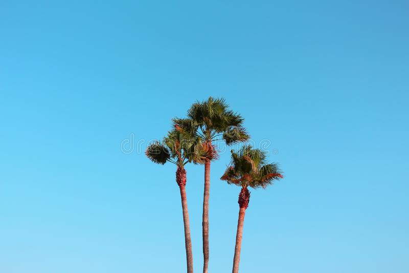 Three Palm Trees Together and Blue Sky Behind. royalty free stock photography