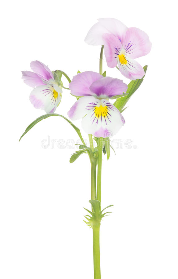 Three pansy light pink blooms on stem. Three pansy flowers isolated on white background stock photo