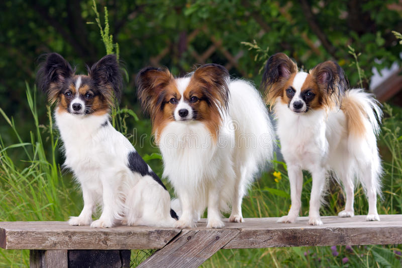 Three Papillons. Three dog breeds Papillon sitting on the bench royalty free stock photography
