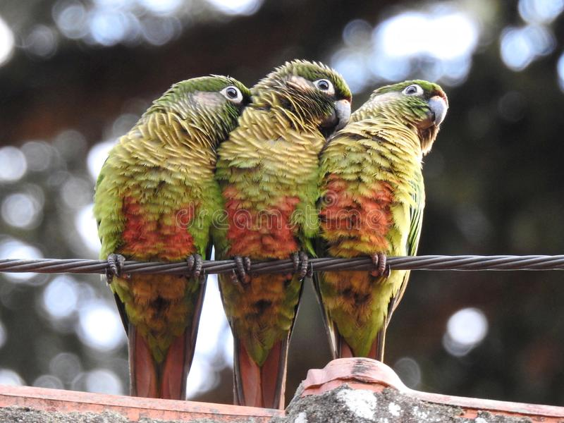 Three parakeets perched on a steel cable stock photography