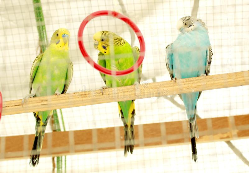 Three parrots sits in a cage. stock photos