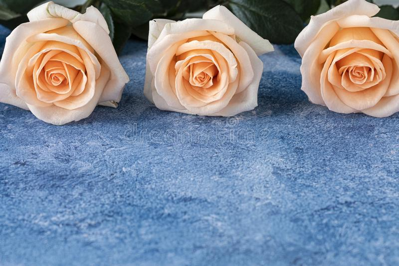 Three peach color roses on a blue and white acrylic paint background. Three beautiful large peach color blooming caltivated roses on a blue and white acrylic royalty free stock photo