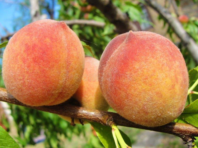 Three peaches on a tree royalty free stock image