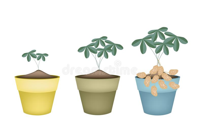 download three peanuts plant in ceramic flower pots stock vector image