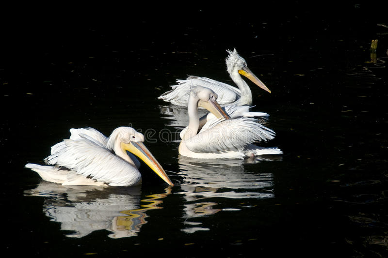 Three pelicans stock images