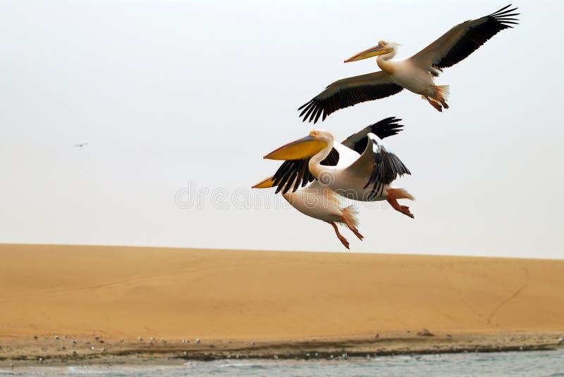 Download Three pelicans stock image. Image of pelican, spread, flying - 7134519