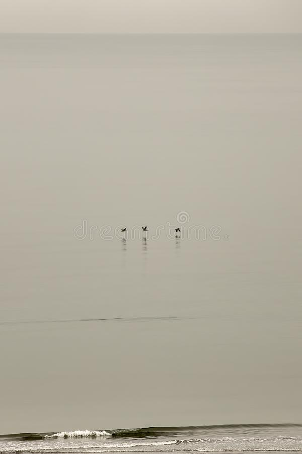 Three pelicans sliding over the calm waters stock photography