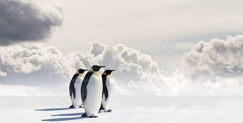 Three penguins royalty free stock image