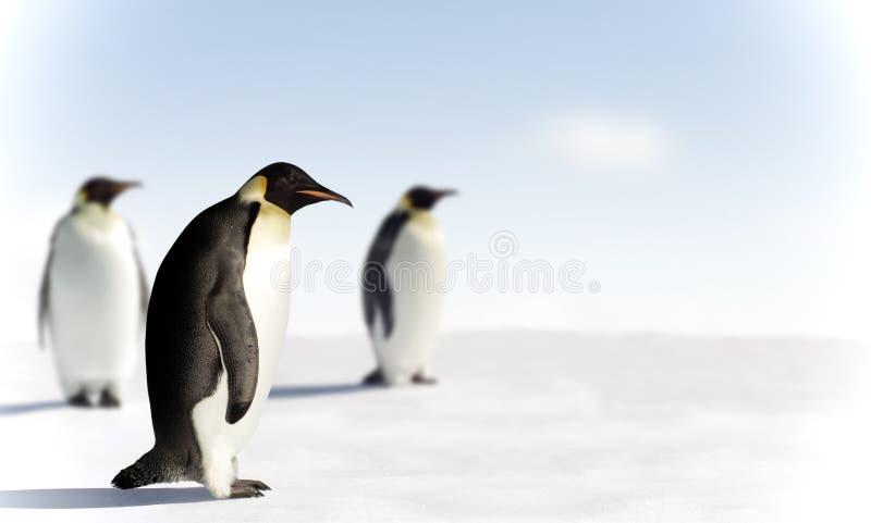 Three penguins in Antarctica royalty free stock image