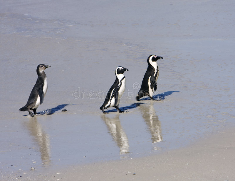 Download Three Penguins On The Beach Stock Image - Image: 7685229