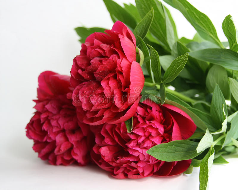Download Three peonies stock image. Image of drops, foreground - 9727167
