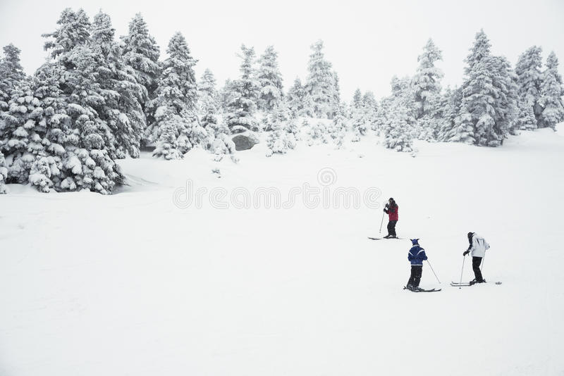 Three people skiing on the mountain. There are pine trees on the background royalty free stock images