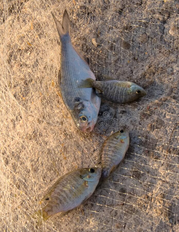 Four bait fish caught in a cast net. Three perch fish and one shad are caught in a cast net near Abilene,Texas at Lake Fort Phantom The shad is excellent bait royalty free stock photos