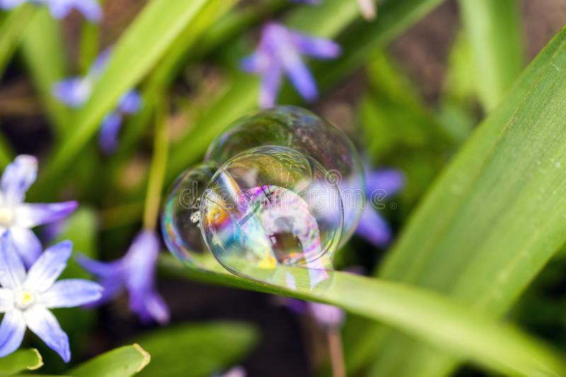 Three perfect soap bubbles balances delicately to a purple flowering plant, intricate reflections and colors reflecting off of th. E domes, abstract stock image