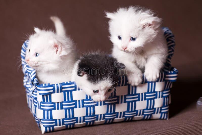 three persian cats stock photos