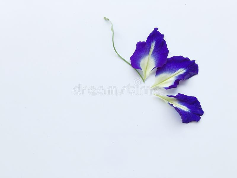 Three petal of butterfly pea. stock image