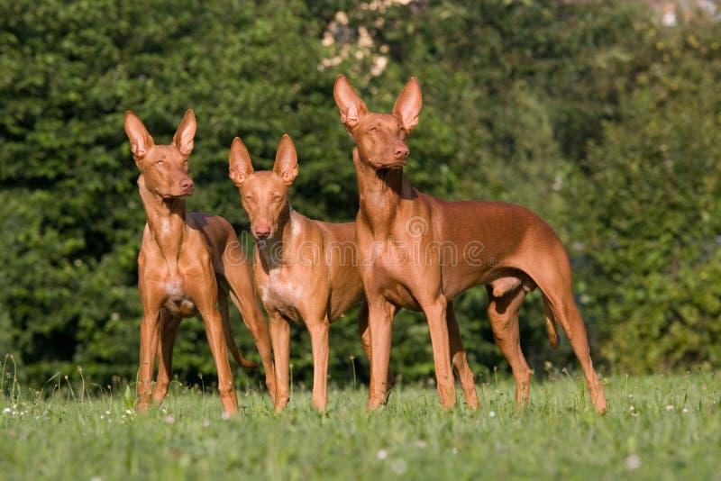 Three Pharaoh Hound dogs stock photography